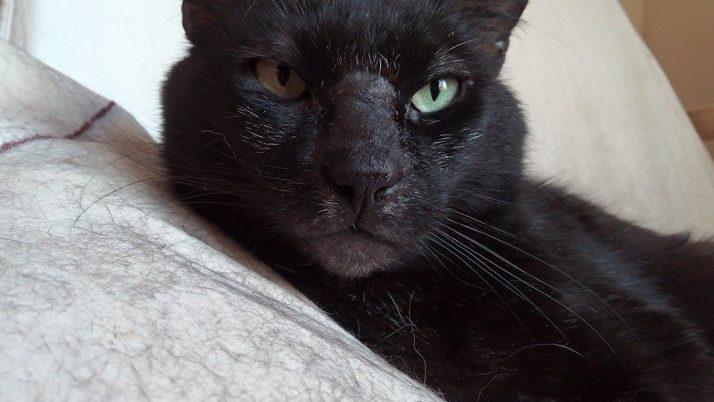Oscar, gato negro y mayor en adopción