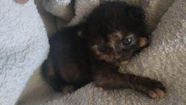 Hermione, gatita carey en adopción, abandonada al nacer