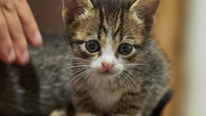 Pichu, adorable gatito bicolor en adopción