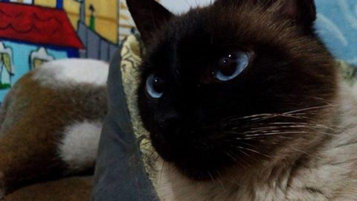 Luna, gata siamesa en adopción