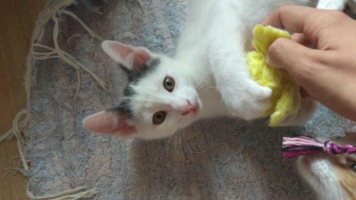 Huellas, gatito en adopción