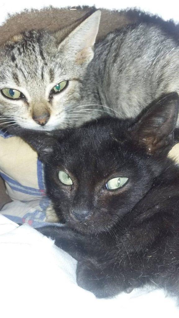Tizón, gatito negro en adopción