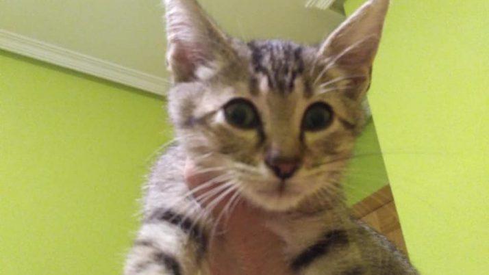 Willy, gatito en adopción