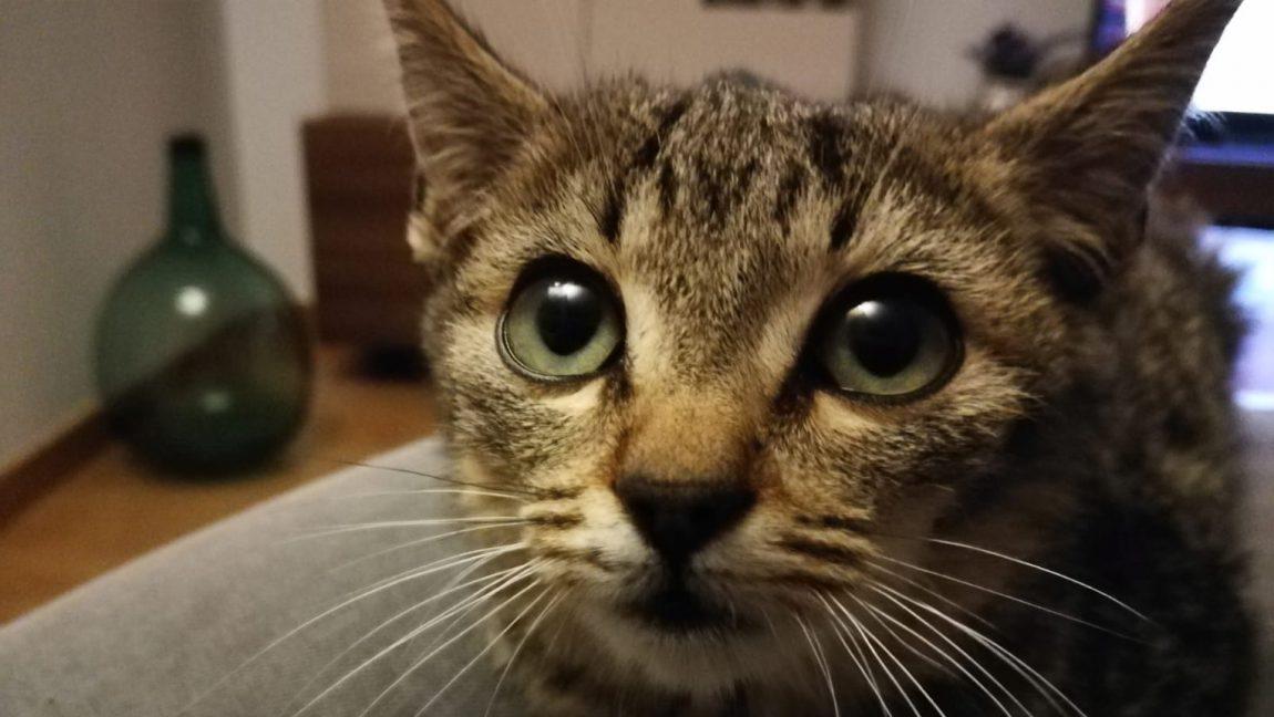 Pulga, gatito atigrado en adopción