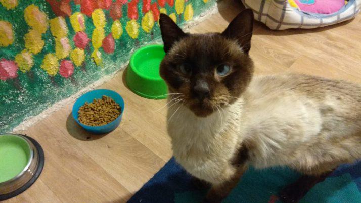 Pupas, gato siamés en adopción