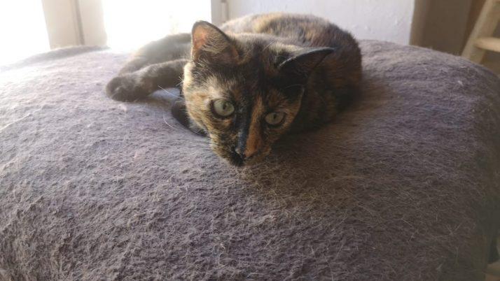 Mulán, preciosa gata Carey en adopción