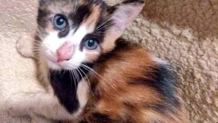 Bella, preciosa gatita tricolor