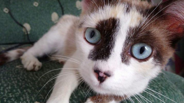 Clara, preciosa gata siamesa en adopción