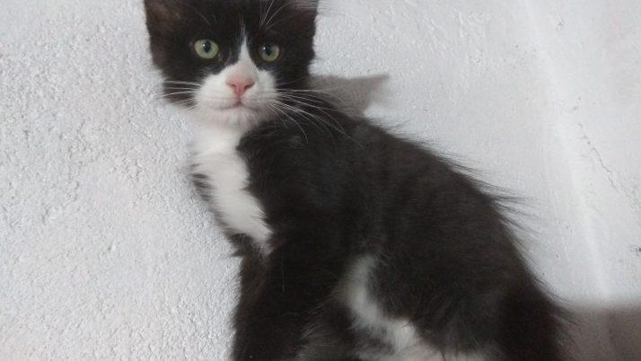 Alfonso, gatito peludito en adopción