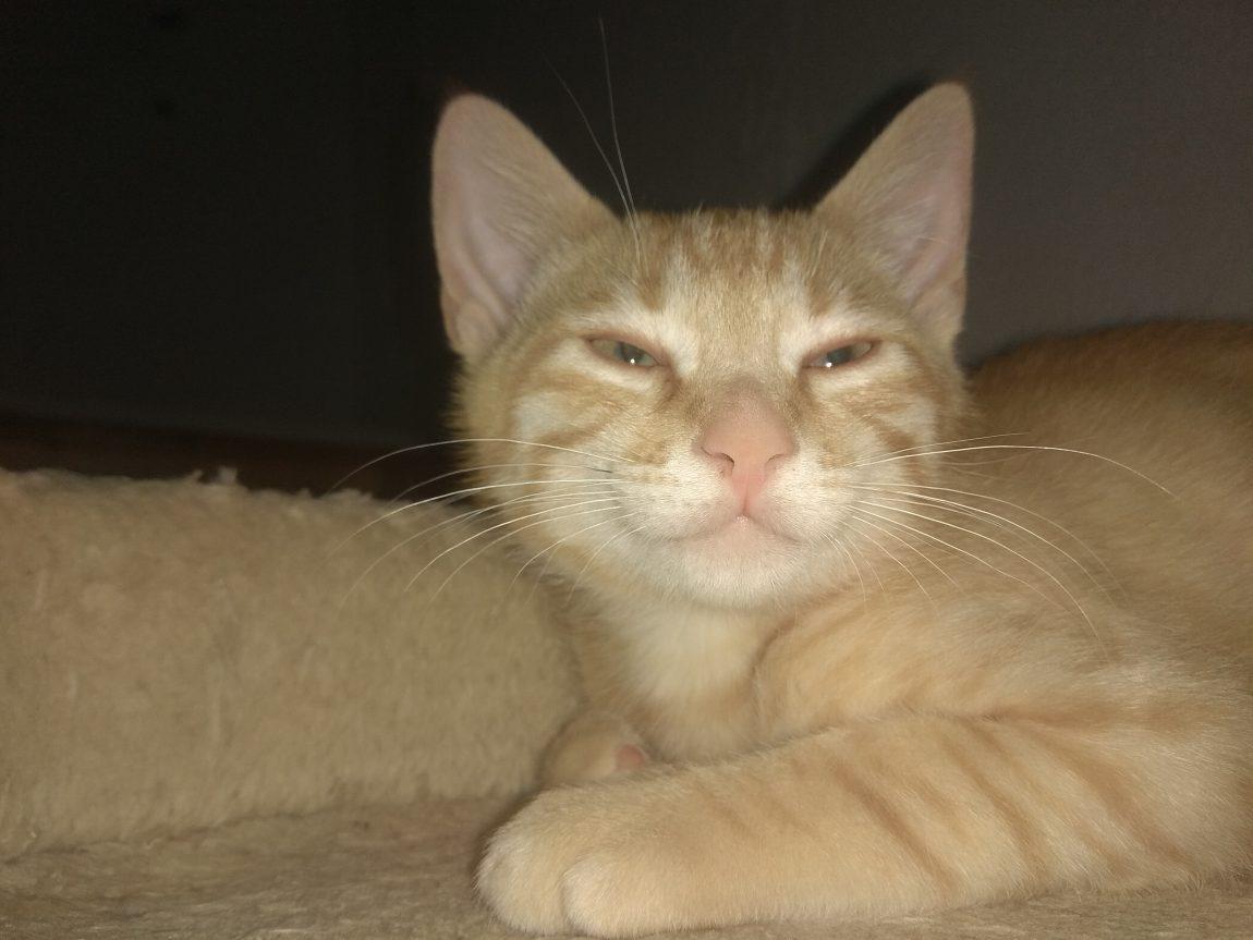 Samu, gatito  tigrecito amarillo en adopción