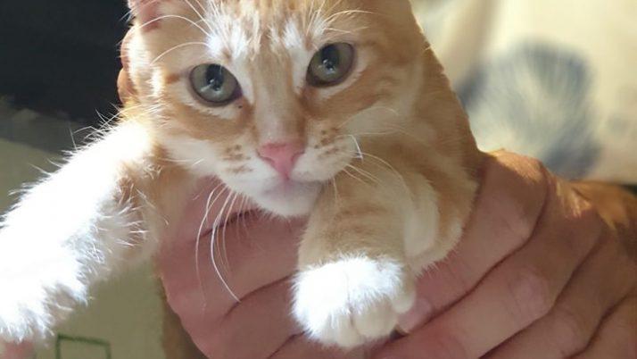 Mickey, gatito amarillo en adopción