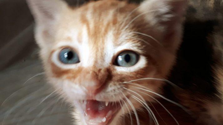 Mileto, gatito naranja en adopción
