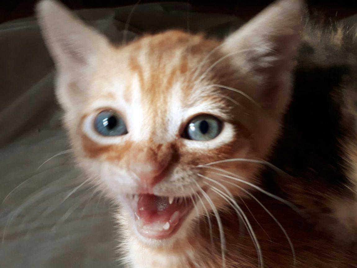 Mileto, gatito naranja