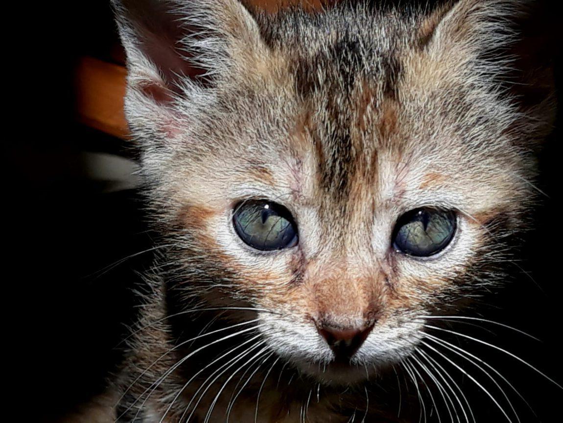 ULA, pequeña gata tricolor en adopción