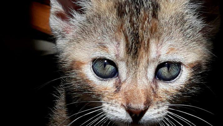 ULA, pequeña gata tricolor