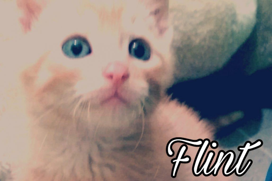 FLINT, gatito naranja en adopción