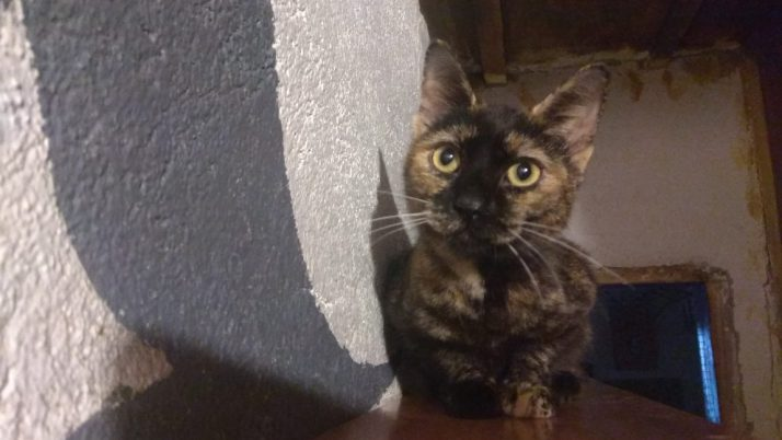 Greta, preciosa gata carey en adopción