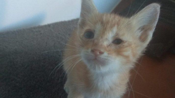 Goku, gatito en adopción rescatado de la calle