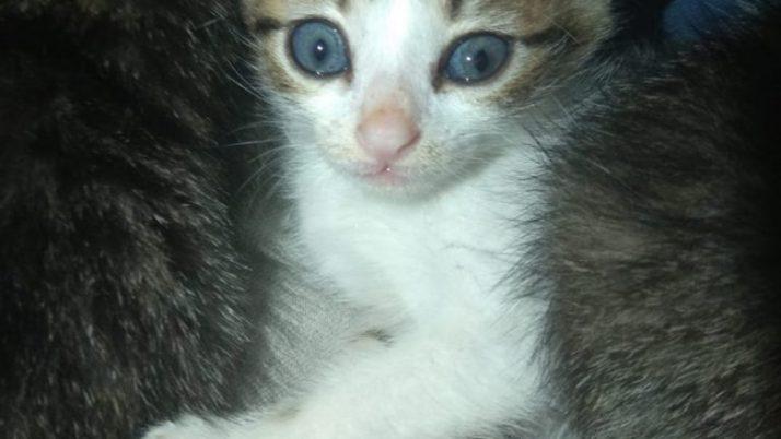 Ronro, precioso gatito casi gemelo de Luli, en adopción