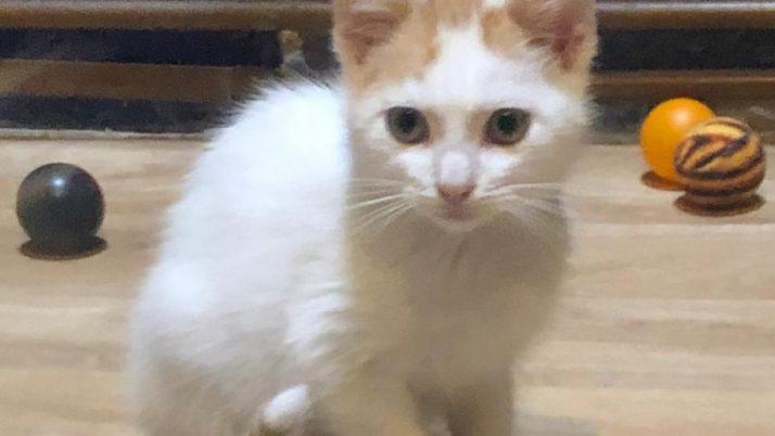 Thor, precioso gatito en adopción, mejor con alguna de sus hermanas