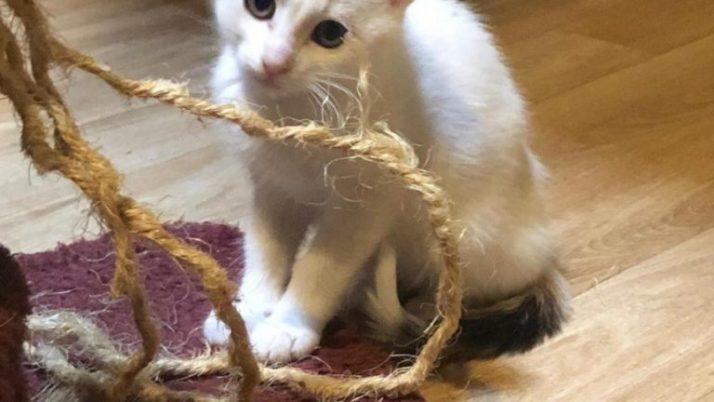Hela, preciosa gatita calico en adopción