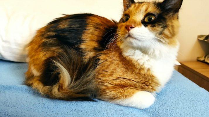 Emi, preciosa gatita tricolor huérfana en adopción