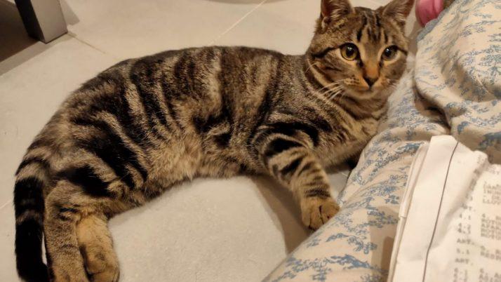 Denver, maravilloso gato atigrado en adopción
