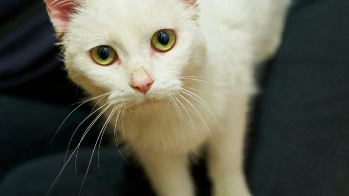 Olaf, precioso gatito blanco en adopción salvado de maltrato