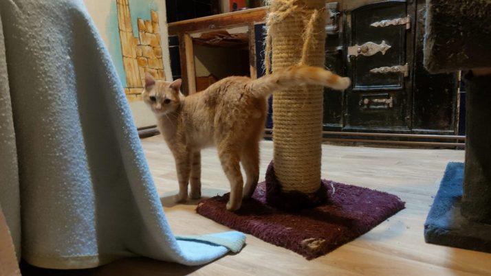 Henry, maravilloso gato rescatado de la calle busca casa