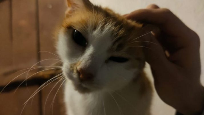 Tina, preciosa gata abandonada salvada al parir busca casa